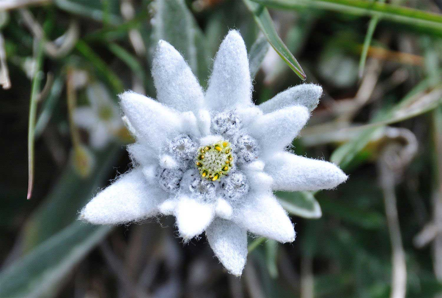 edelweiss-claree