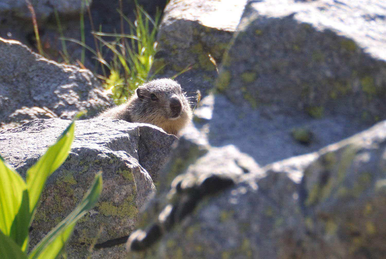 randonnee-marmottes-nevache